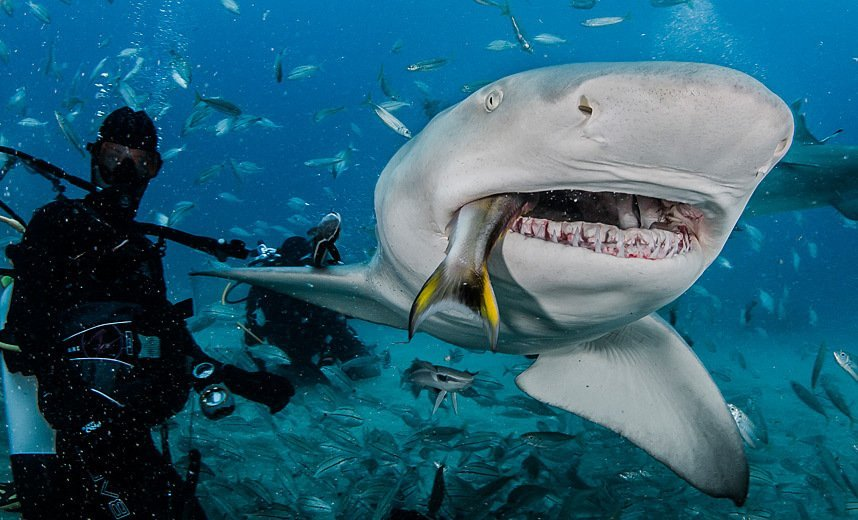 lemon-shark-eating